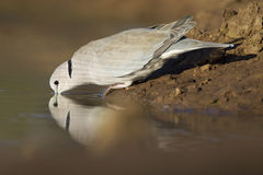 De Duif van de Schildpad van de kaap (capicola Streptopelia), Botswana stock foto's