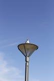 De duif van de zitting Stock Afbeelding