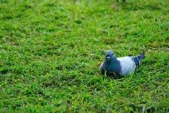 De duif van het gras Royalty-vrije Stock Foto's