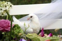 De duif van het huwelijk Stock Foto's