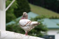 De duif van Modena Stock Afbeeldingen
