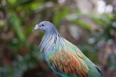 De duif van Nicobar Royalty-vrije Stock Foto