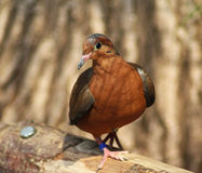 De duif van Socorro Royalty-vrije Stock Afbeelding