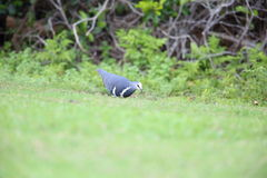 De duif van Wonga Stock Foto