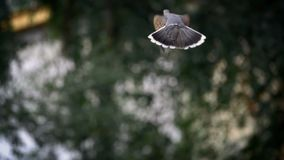 De duif vliegt tijdens de vlucht vleugels stock footage