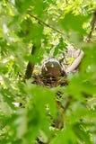 De duif vrouwelijke zitting op het nest stock afbeeldingen