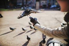 De duif wordt tijdens de vlucht in de handen van een meisje Stock Foto
