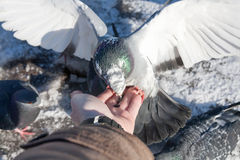 De duif zit op een hand van de persoon Royalty-vrije Stock Foto's