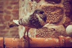 De duif zit op het dak van het gebouw, een volbloed- vogel stock afbeeldingen