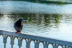 De duif zit op de omheining van de brug, tegen de achtergrond van het water stock fotografie
