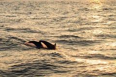 De duik van de dolfijn stock fotografie