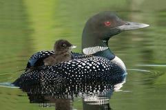 De Duiker die van de baby (Gavia immer) op de rug van de moeder berijdt Stock Foto's