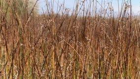 De duinen van het Bruneauzand Idaho 65 riet drogen stock footage