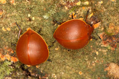 De duistere keverskevers eten paddestoelen Royalty-vrije Stock Afbeeldingen