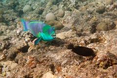 De duistere papegaaivis is onderwater Stock Afbeeldingen