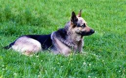 De Duitse herder ligt Royalty-vrije Stock Fotografie