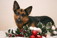De Duitse herder van Kerstmis stock afbeeldingen