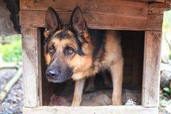 De Duitse herderhond gluurt uit de kennel royalty-vrije stock foto's