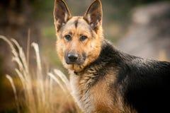 De Duitse herderportret van het hondras op aard Royalty-vrije Stock Afbeeldingen