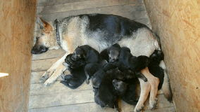 De Duitse herderpuppy zijn handvol van ongeveer mamma's, vallen in slaap stock footage