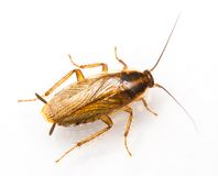 De Duitse kakkerlak van Blattellagermanica Stock Afbeelding