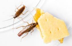 De Duitse kakkerlak van Blattellagermanica Royalty-vrije Stock Foto's