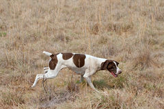De Duitse korte hond van de haarwijzer na geur Stock Fotografie