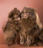 De Duitse spitz-hond met een puppy royalty-vrije stock fotografie