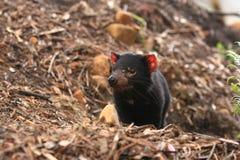 De Duivel van Tasmanige Stock Fotografie