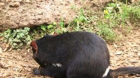 De duivels die van Tasmanige met Kangoeroe slepen komen samen