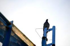 De duiven bevinden zich stock fotografie
