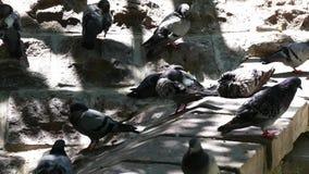 De duiven door de zon worden beïnvloed die proberen weg te koelen, stock videobeelden