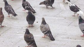 De duiven eten brood in park stock videobeelden