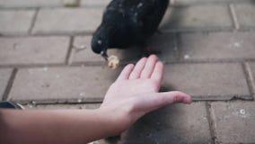 De duiven eten brood van de handen van de jongen Close-upvogels stock videobeelden