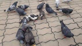 De duiven pikken in het vierkant stock footage