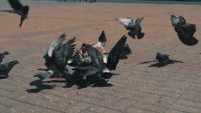 De duiven pikken korrel in het vierkant Het langzame schieten van de grond Duiven in de zon stock footage