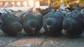 De duiven pikken korrel in het vierkant Het langzame schieten van de grond Duiven in de zon stock video