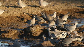 De duiven van de kaapschildpad stock footage