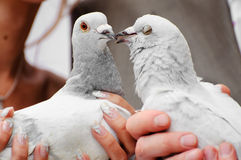 De duiven van het huwelijk stock fotografie