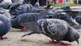 De duiven vlogen in het vierkant De mensen voeden duiven stock footage