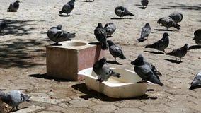 De duiven voedden in het park, honderden duiven in het stadspark, stock videobeelden