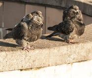De duiven zitten op de steen Stock Afbeelding