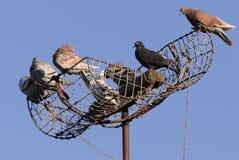 De duiven zitten op de val Stock Foto's