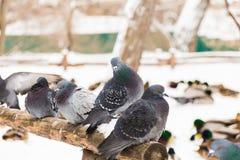 De duiven zitten op een houten omheining in het stadspark De winterdag, sneeuw Op de achtergrond is de Wilde eendeend Stock Afbeelding