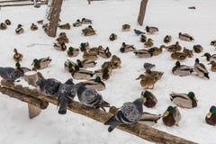 De duiven zitten op een houten omheining in het stadspark De winterdag, sneeuw Op de achtergrond is de Wilde eendeend Royalty-vrije Stock Foto
