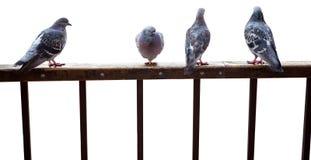 De duiven zitten op geïsoleerden omheining Stock Afbeeldingen