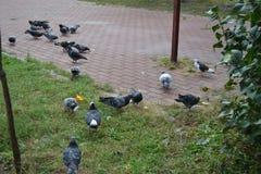 De duiven zoeken voedsel die crumbs verzamelen royalty-vrije stock afbeeldingen