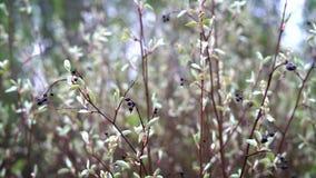 De dunne takken van een vogelkers met droge vruchten en dalingen van water op hen slingeren in een lichte wind in het bos stock video