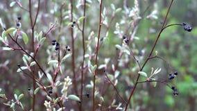 De dunne takken van een vogelkers met droge vruchten en dalingen van water op hen slingeren in een lichte wind in het bos stock videobeelden