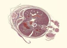 """De dwarsdoorsnede sneed onder microscoop†""""microscopische mening van dierlijke cellen voor onderwijs royalty-vrije illustratie"""